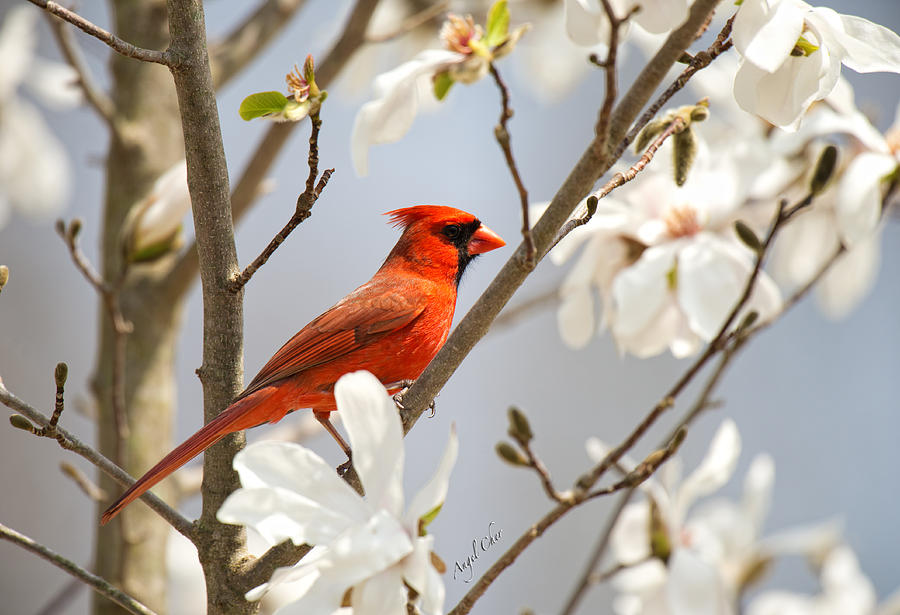 Cardinal Photograph - Cardinal In Magnolia by Angel Cher