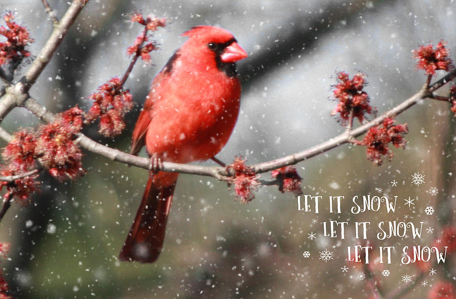 Cards Photograph - Cardinal In Snow by Linda C Johnson