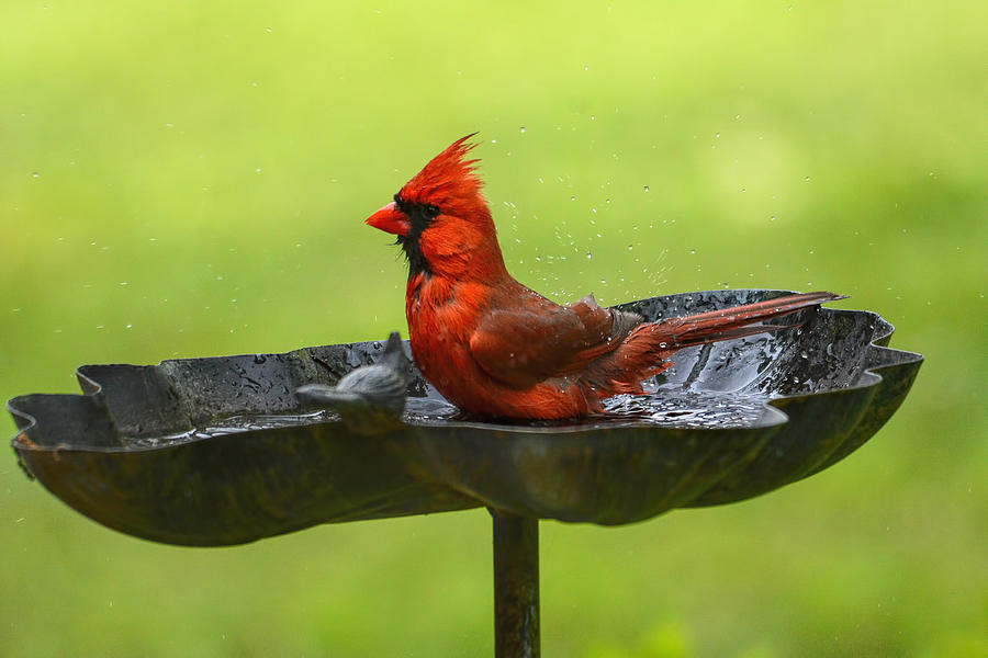 Jai Johnson Photograph - Cardinal In The Bird Bath 102020153640 by WildBird Photographs