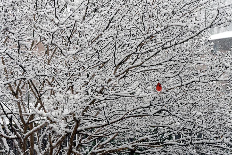 Cardinal Photograph - Cardinal In The Snow by David Posey