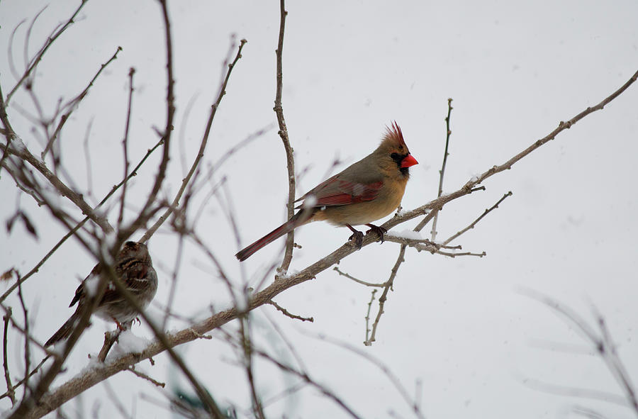 Wildlife Photograph - Cardinal In The Snow by Jeff Severson