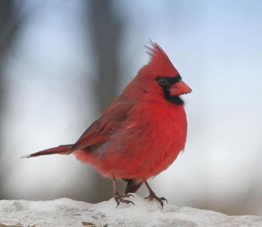 Cardinal Photograph - Cardinal In The Snow by Laurie With