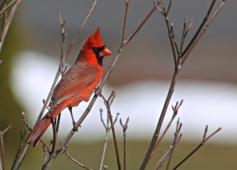 Cardinal in Winter by Donna Quante