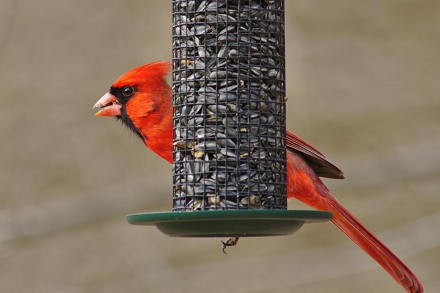 Cardinal Photograph - Cardinal On Feeder by Brad Chambers
