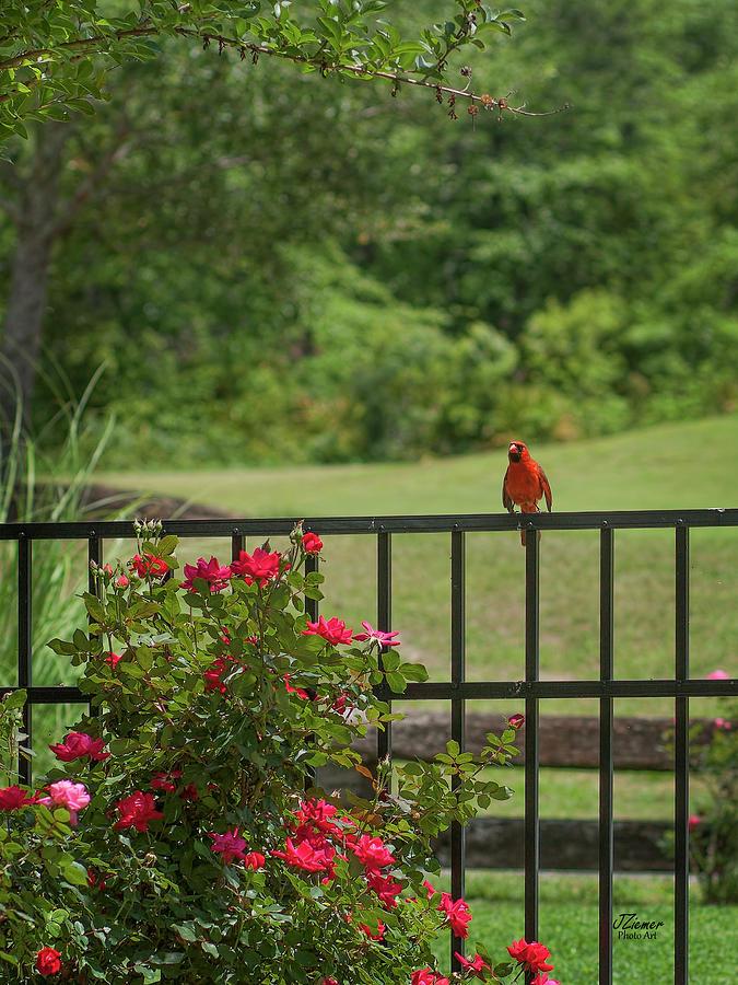 Bird Photograph - Cardinal On Fence by Jim Ziemer