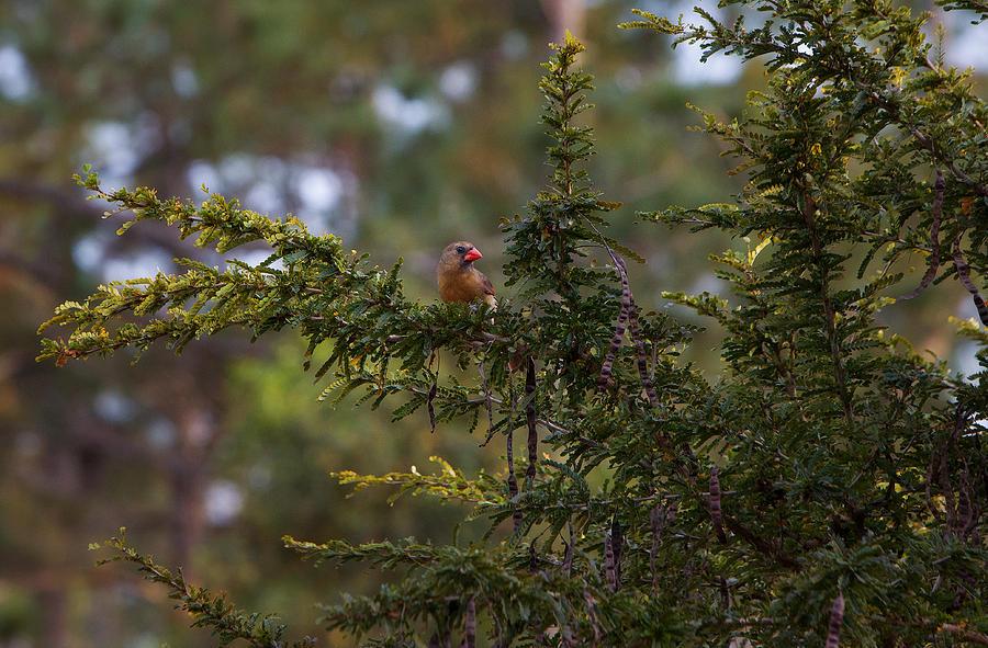 Cardinal On Gold Medallion Tree 120 Photograph