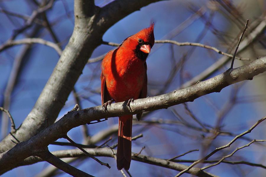 Cardinal Photograph - Cardinal On Watch by Brad Chambers