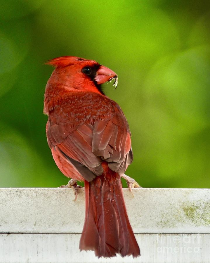 Cardinal Red by AnnaJo Vahle