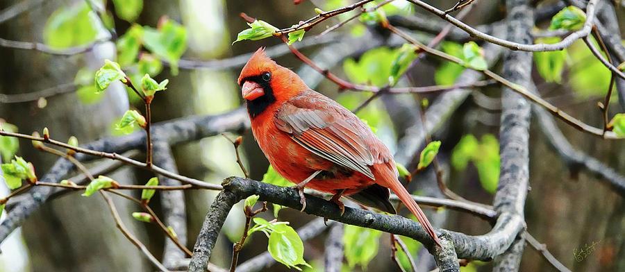 Cardinal Photograph - Cardinal by Rick Lawler
