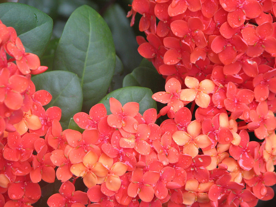 Flower Photograph - Caribbean Beauty by Ginger Howland