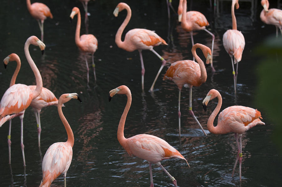 Nobody Photograph - Caribbean Flamingoes At The Sedgwick by Joel Sartore