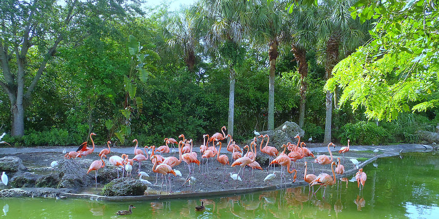 Miami Photograph - Caribbean Flamingos by Tammy Chesney