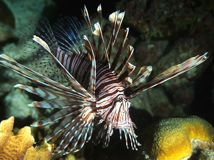 Caribbean Lion Fish Photograph