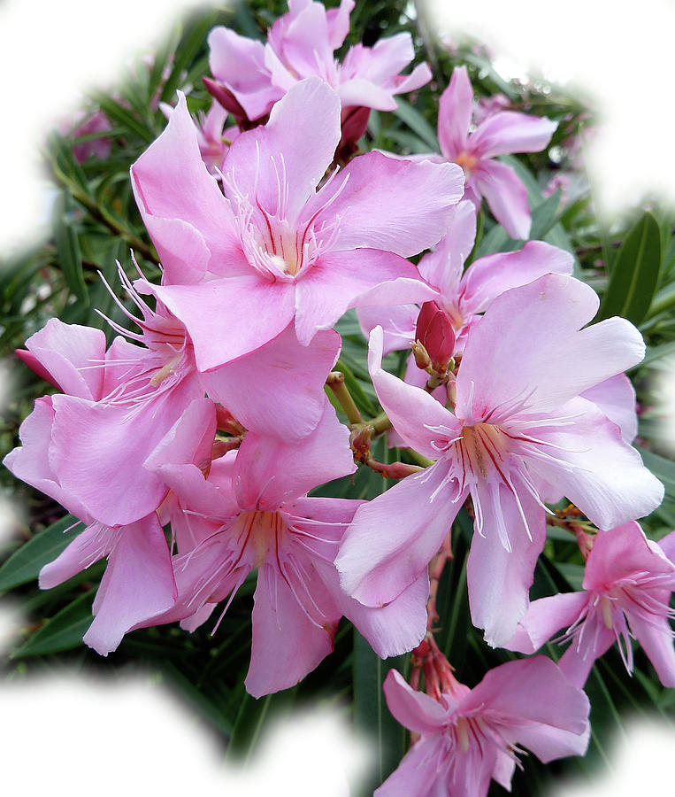 Pink Photograph - Caribbean Oleander by Marie Hicks