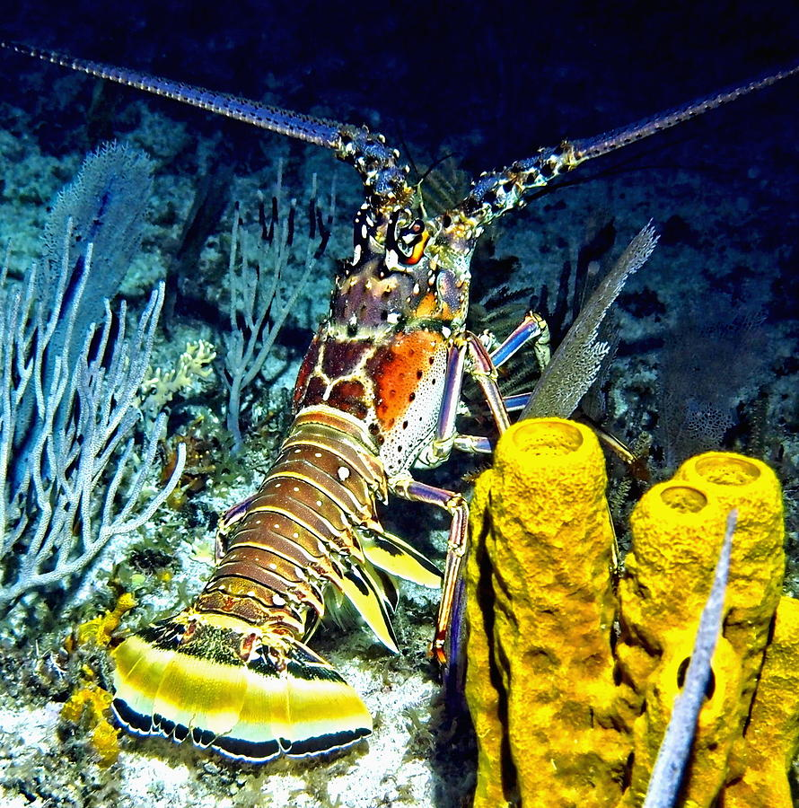 Ocean Photograph - Caribbean Reef Lobster by Amy McDaniel