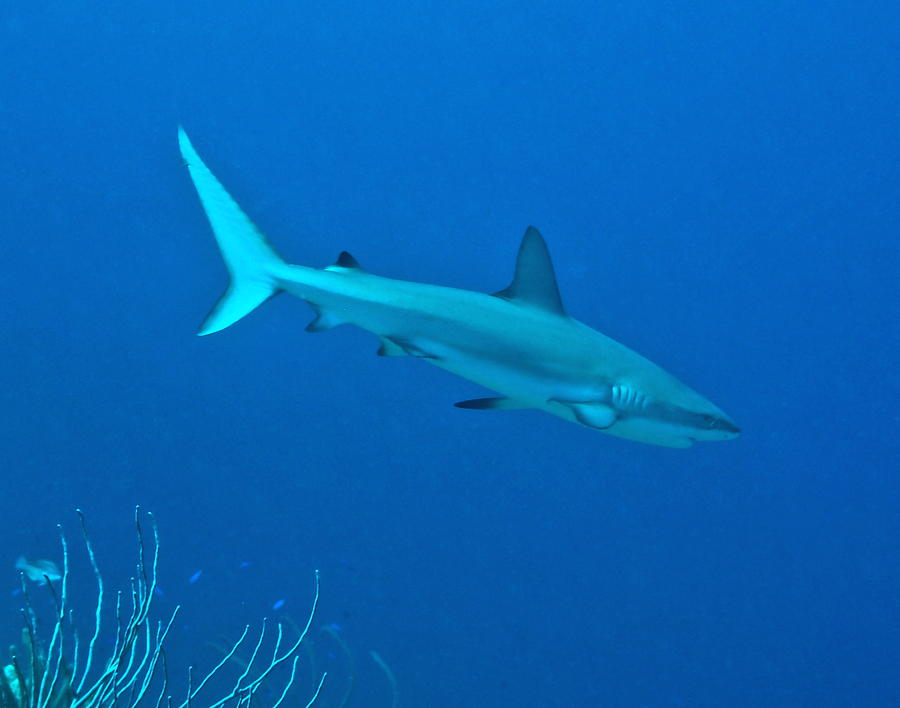Caribbean Reef Shark On A Coral Reef Photograph