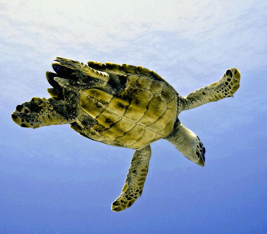 Caribbean Sea Turtle Photograph