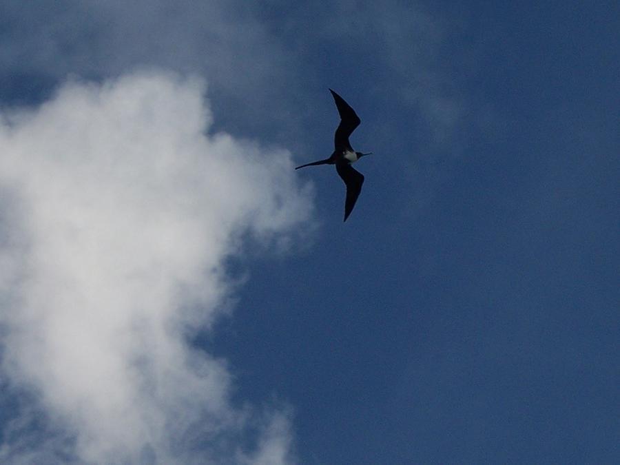 Bird Photograph - Caribbean Sky by Michelle Miron-Rebbe