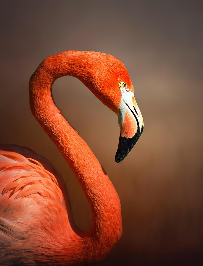 Flamingo Photograph - Caribean flamingo portrait by Johan Swanepoel