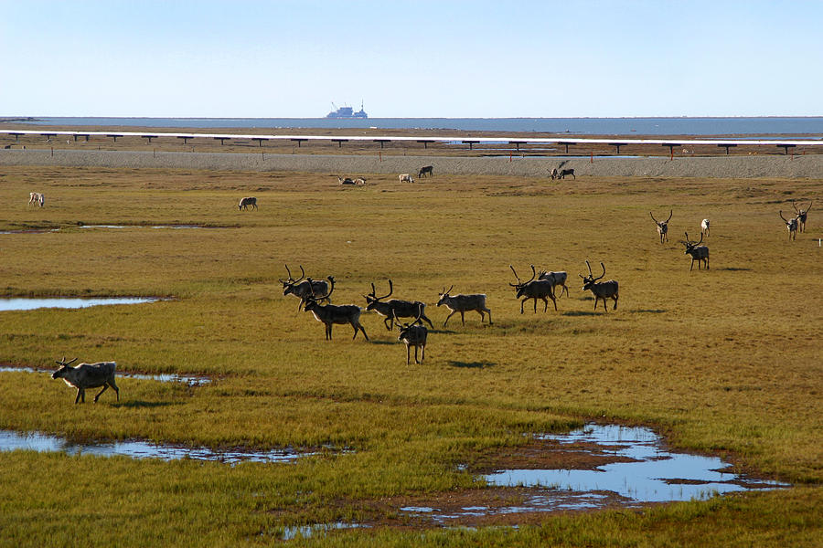 Caribou Photograph - Caribou Herd by Anthony Jones