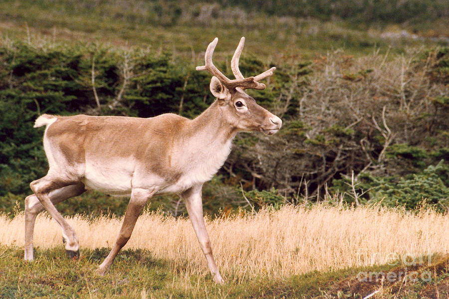 Nature Photograph - Caribou by Mary Mikawoz