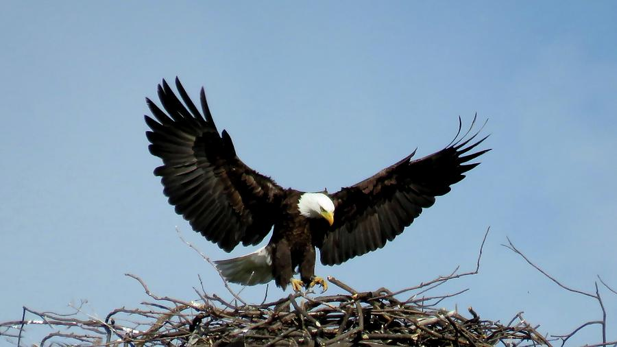 1000 Islands Photograph - Cape Vincent Eagle by Dennis McCarthy