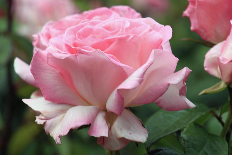 Carnation Pink Rose by Jodi Vetter