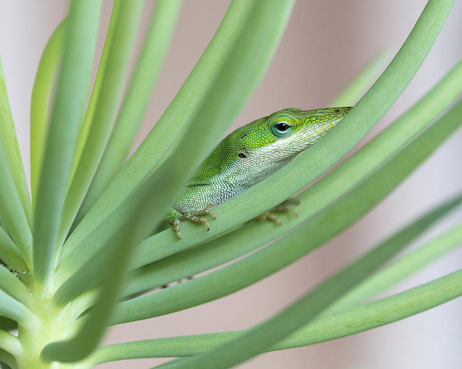 Carolina Anole by Patricia Schaefer