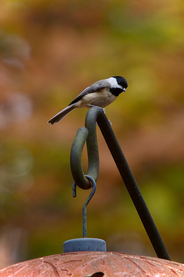 Chickadee Photograph - Carolina Chickadee by Robert L Jackson