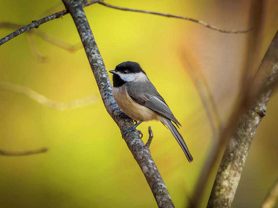 Carolina Chickadee by Timothy Harris