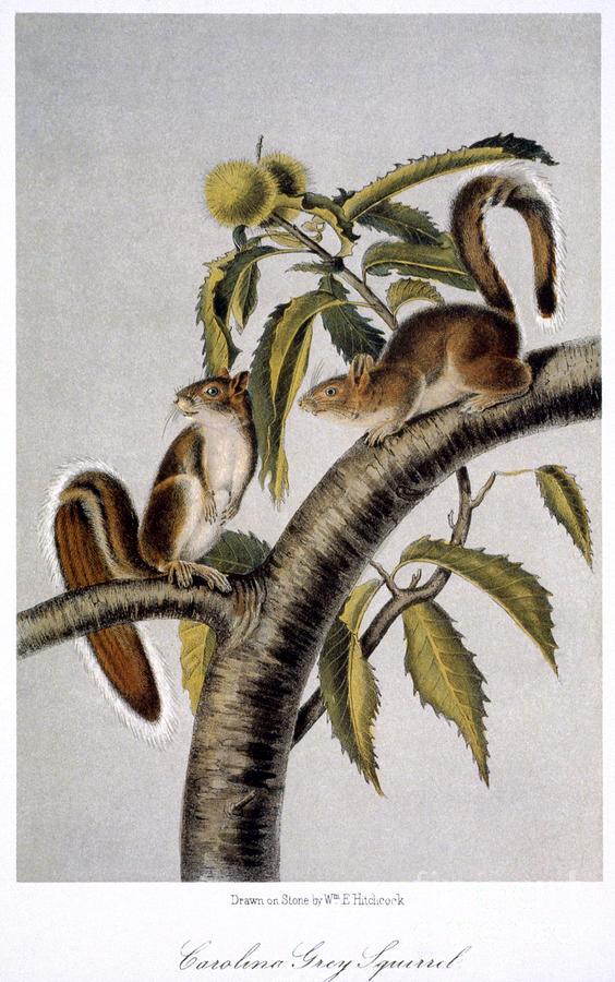 1846 Photograph - Carolina Grey Squirrel by Granger