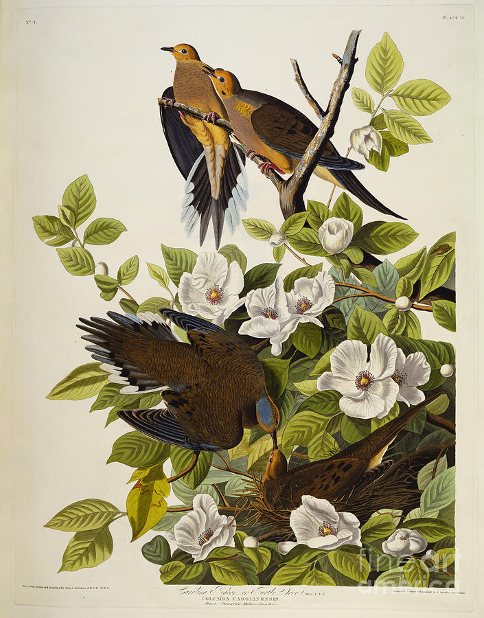 Carolina Turtledove. Mourning Dove Drawing - Carolina Turtledove by John James Audubon
