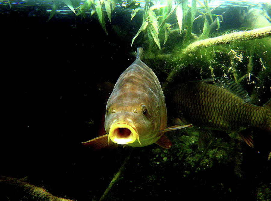 Lake Photograph - Carp by Helmut Rottler