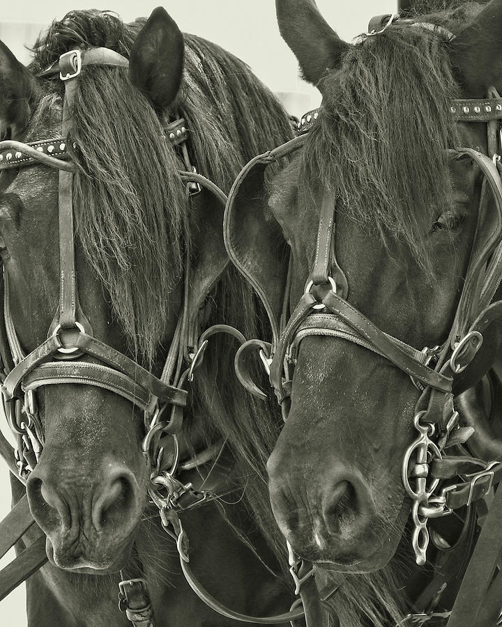 Horse Photograph - Paired Carriage Ponies by JAMART Photography