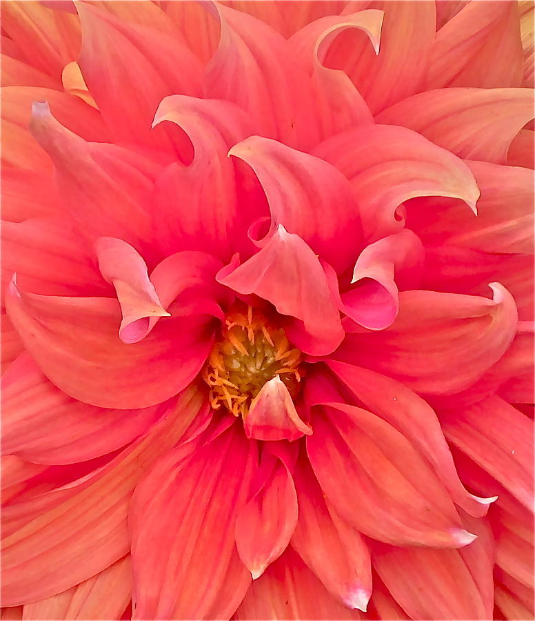 Dahlia Photograph - Carries Sister by Gwyn Newcombe
