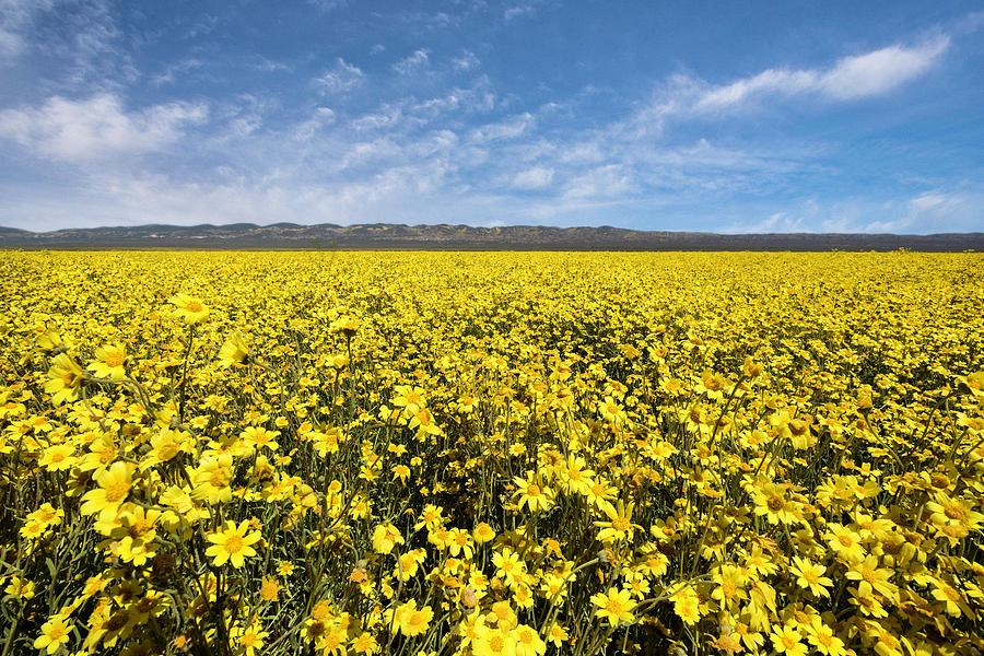Landscape Photograph - Carrizo Plain Desert Sunflower Field Afternoon by Scott Cunningham