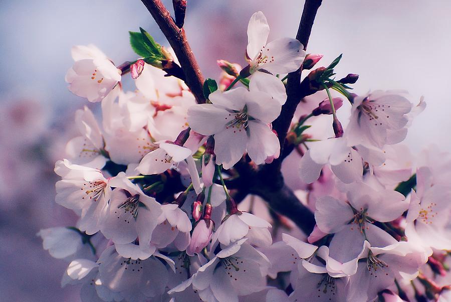 Cherry Blossom Trees Photograph - Carry Me by Angie Tirado