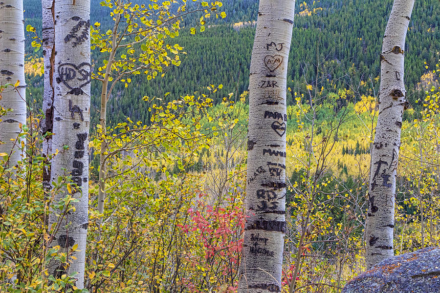 Carved names and initials in autumn aspen trees photograph