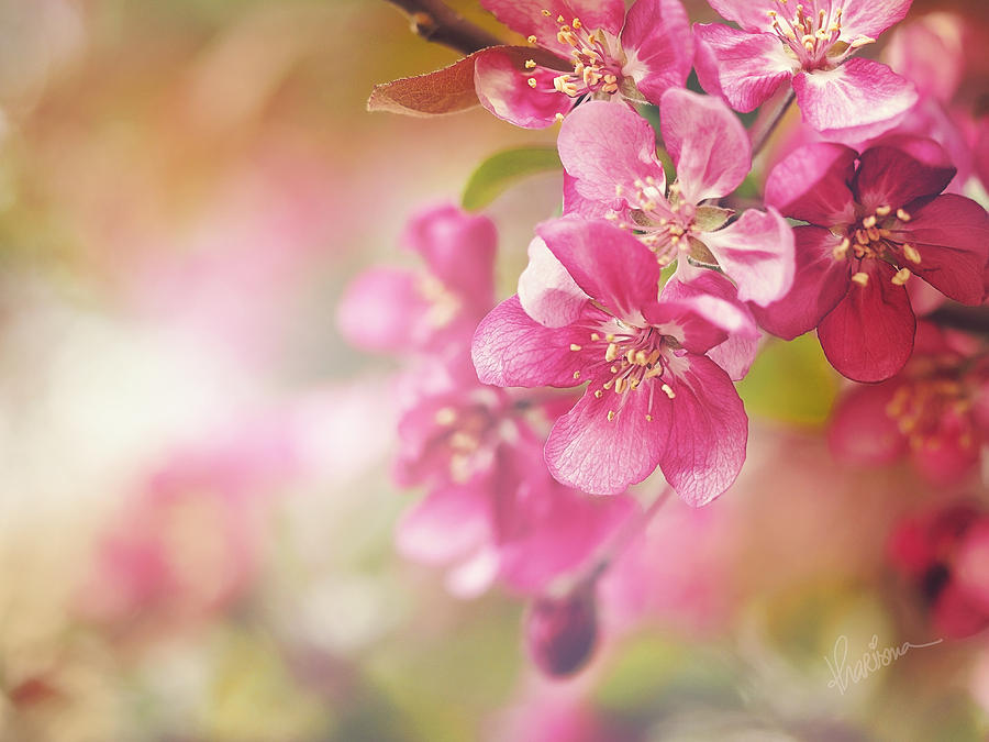 Crab Apple Photograph - Cascade I by Kharisma Sommers