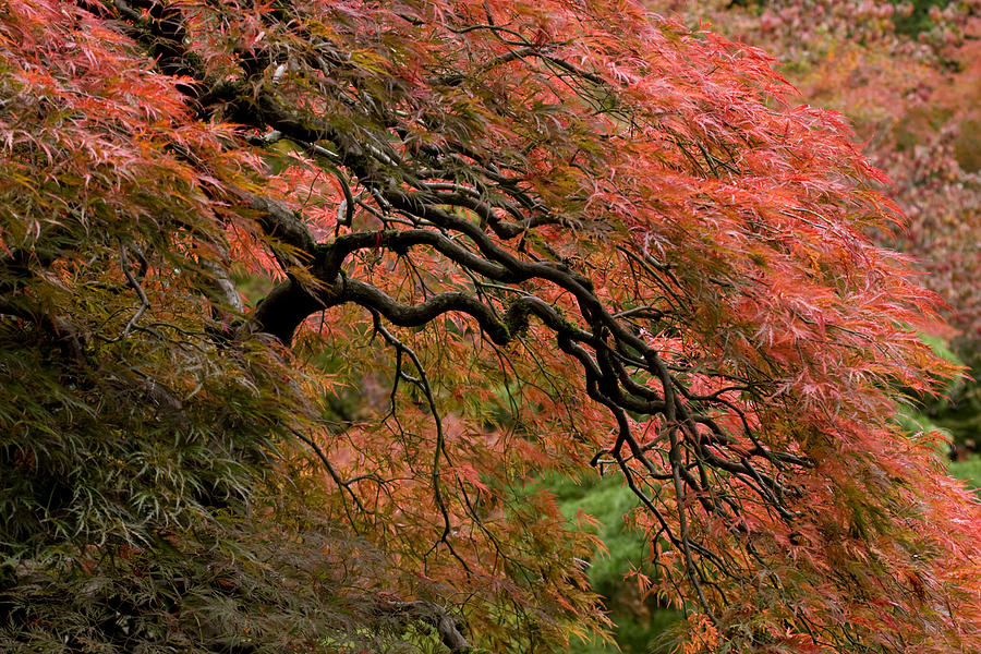 Pacific Photograph - Cascading Japanese Maple by Wes and Dotty Weber