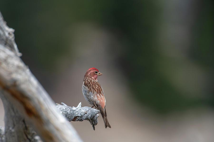 Cassin's Finch by Ken Dietz