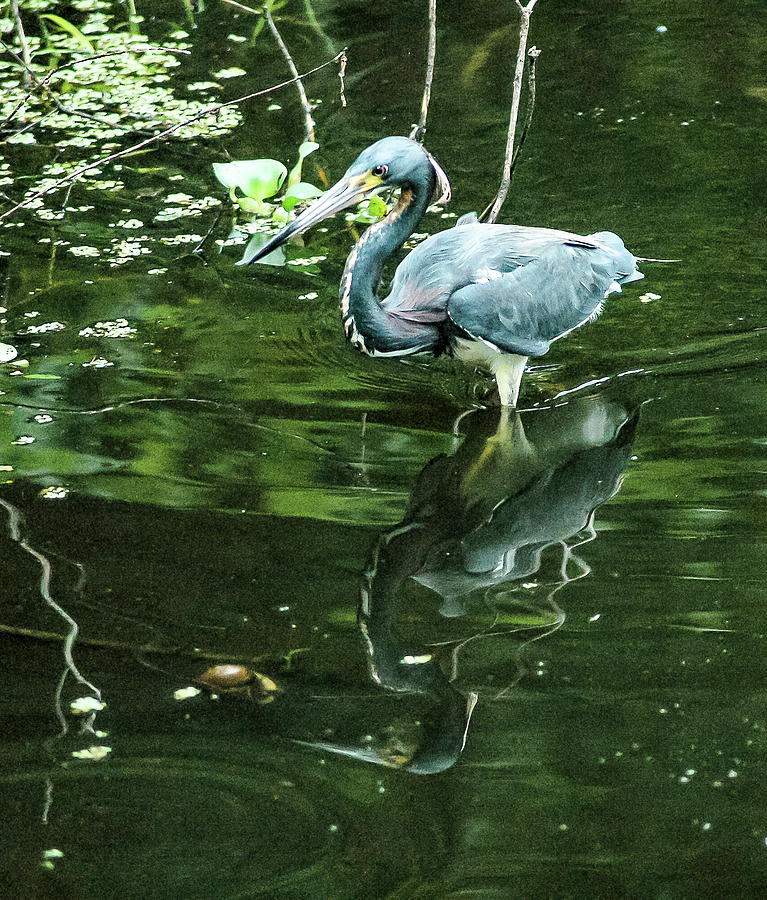 Tricolored Heron Photograph - Cast A Shadow by Norman Johnson