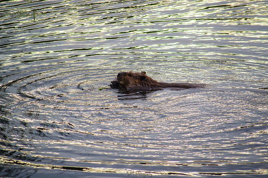 Mckenzie Beaver