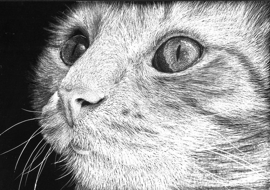 Scratchboard Drawing - Cat Close up Portrait by Nolan Clark