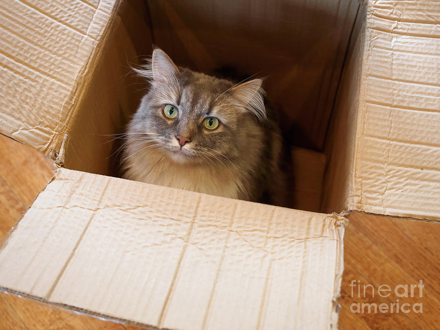 Siberian Forest Cat Photograph - Cat In A Box by Louise Heusinkveld