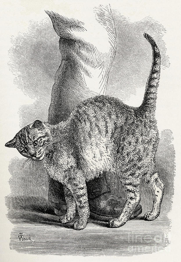 Animal Drawing - Cat In An Affectionate Frame Of Mind by Thomas W Wood