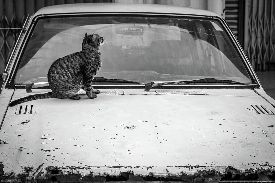 Cat on a Bonnet by Sam Morris