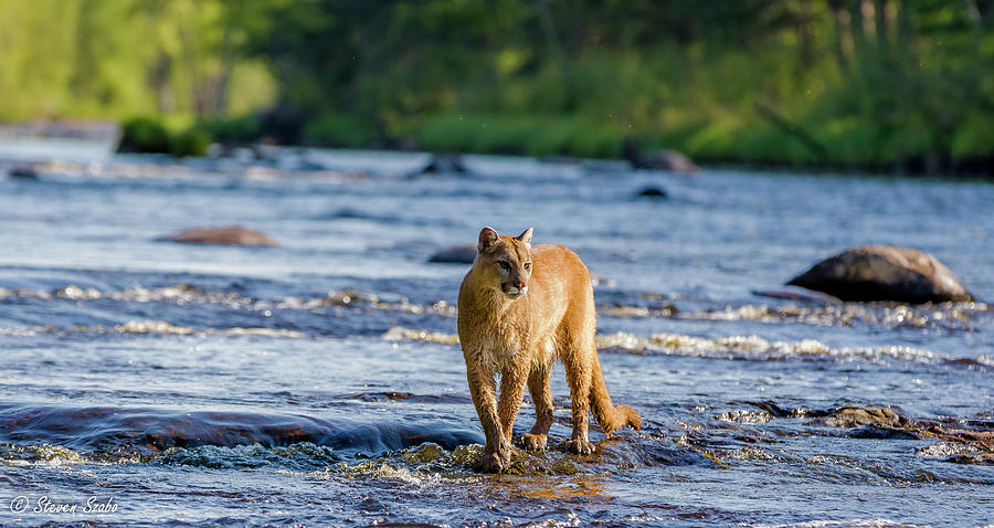 Cougar Photograph - Cat On The River by Steven Szabo