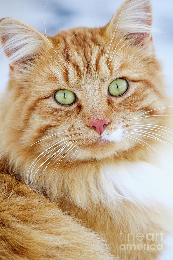 Cat Photograph - Cat Portrait by Aleksander Suprunenko