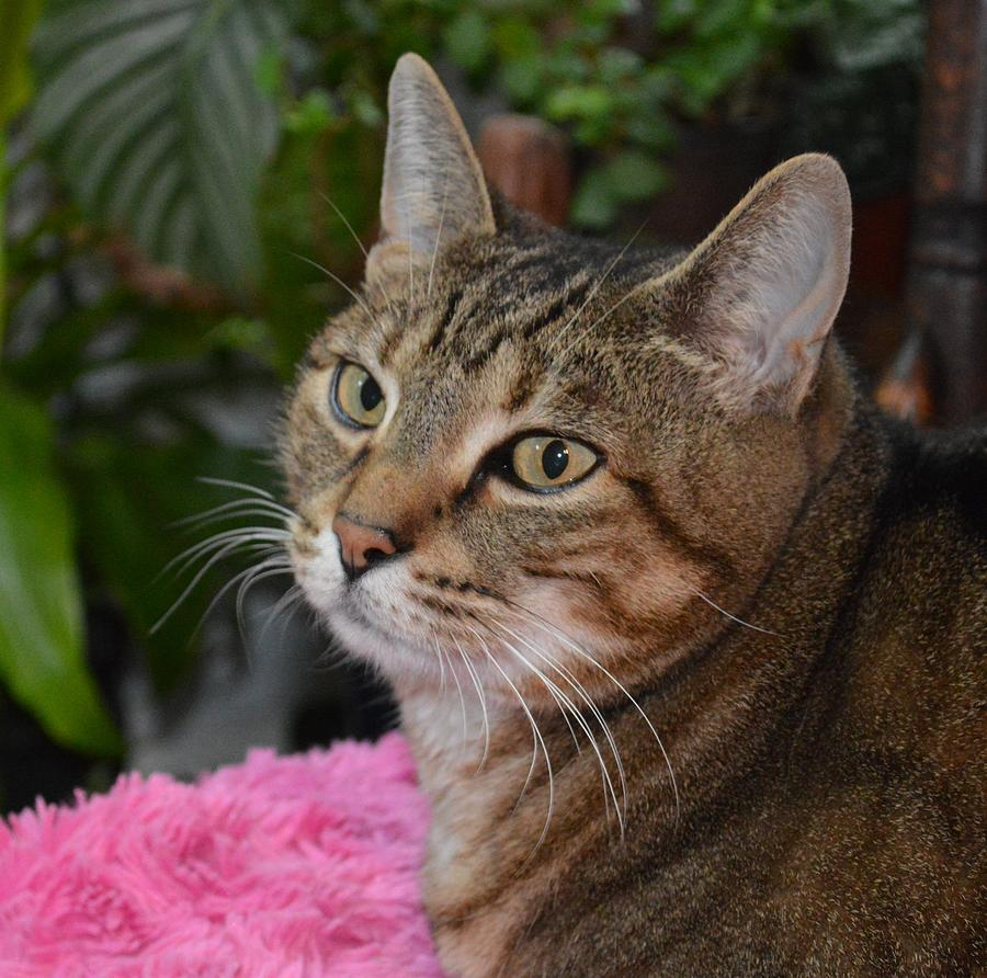 Cat Portrait Of A Tabby-bengal Mix Photograph by Nancy